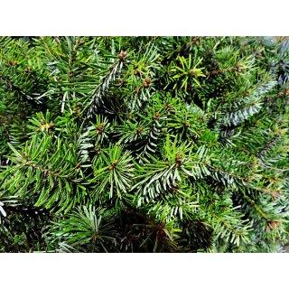 Wann Weihnachtsbaum Kaufen.Nordmanntanne Borshomi Abies Nordmanniana Borshomi
