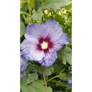 Garteneibisch Blue Bird Hibiscus Jetzt Online Kaufen 390