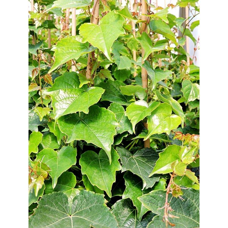 parthenocissus tricuspidata 39 veitchii 39 selbstklimmer wein 39 veitchi. Black Bedroom Furniture Sets. Home Design Ideas