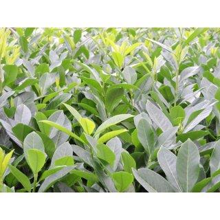 Gut bekannt Kirschlorbeer Heckenpflanzen von 15 - 150 cm hier Online-kaufen. Pfla RD74